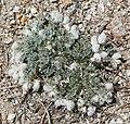 Astragalus purshii milkvetch seedpuffs.jpg
