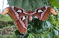 Attacus atlas with a wing gone 01.JPG