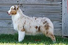 merle dog coat wikipedia