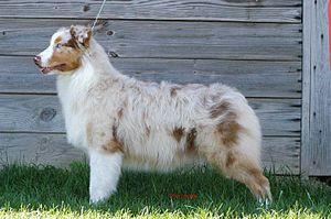 Merle (dog coat) - Red merle Australian Shepherd