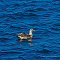 Australasian gannet Shorncliffe Pier Shorncliffe Bramble Bay Queensland P1010263.jpg