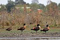 Australian Shelducks (24940010404).jpg