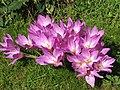 Autumn crocuses (Colchicum autumnale) - geograph.org.uk - 545962.jpg