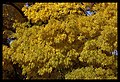 Autumn leaves of Canberra-05 (5856180114).jpg