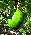 Avocado on tree in Bermuda.jpg