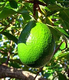 Avocado on tree in Bermuda