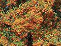 Bacche di Pyracantha coccinea 02.jpg