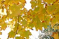 Backlit maple leaves (265929049).jpg