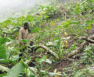 Subsistence agriculture - A Bakweri farmer working on his taro field on the slopes of Mount Cameroon.