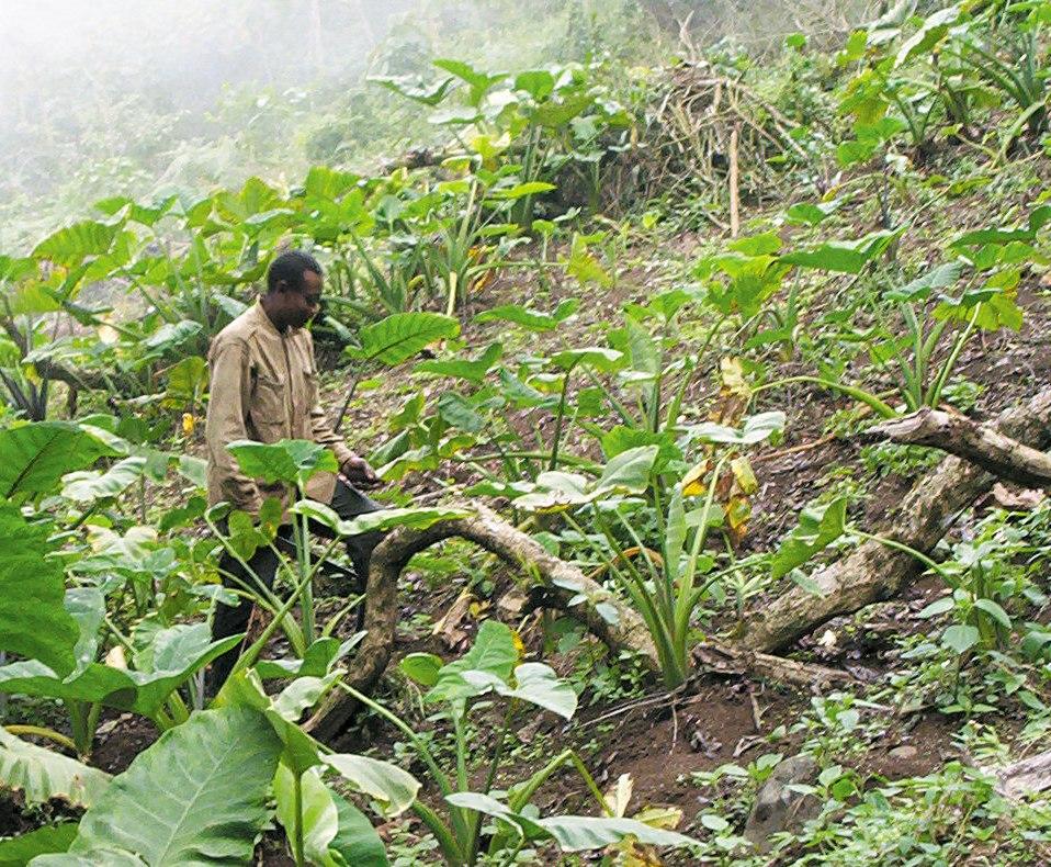 Bakweri cocoyam farmer from Cameroon