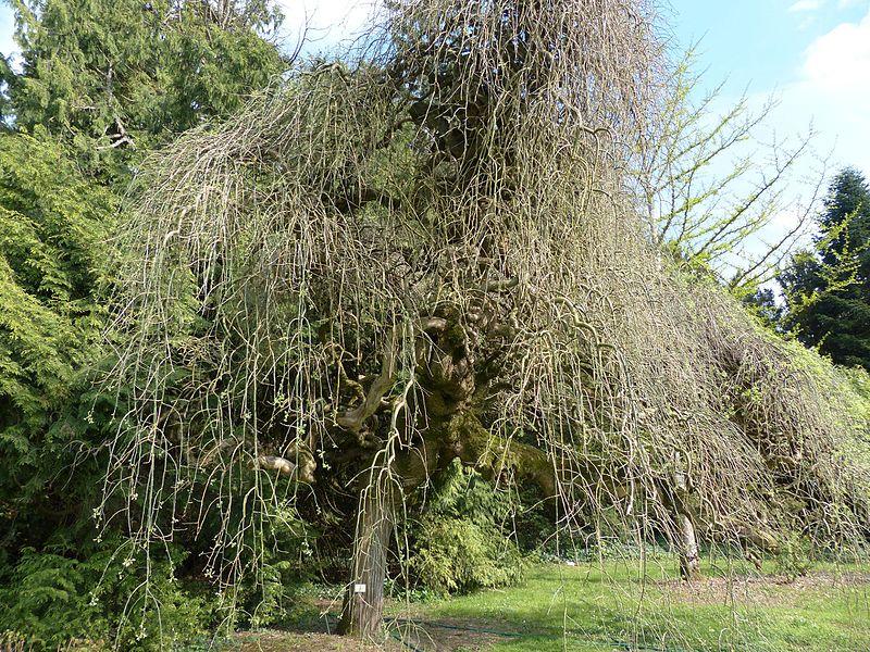 Arboretum de Balaine (Villeneuve-sur-Allier, France). Sophora japonica pendula.
