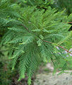 Bald Cypress Leaves 2000px.jpg