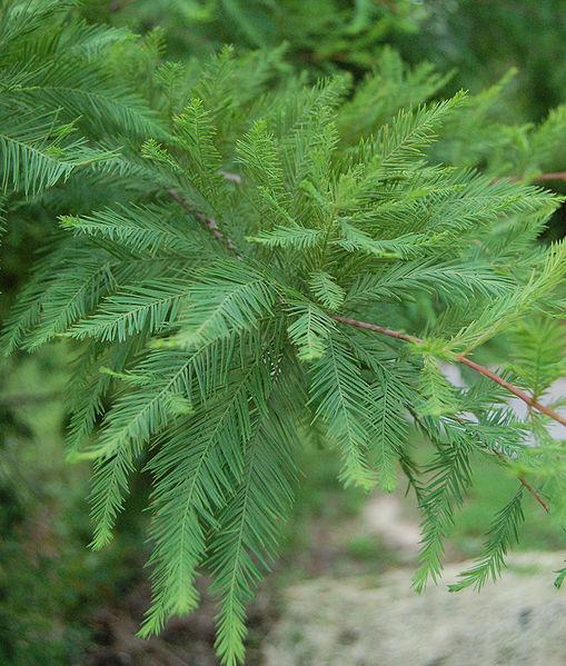 feuilles de cyprès