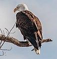 Bald Eagle (32571989651).jpg