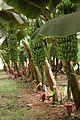 Banane (3).JPG
