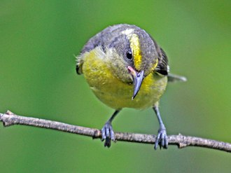Bananaquit - Juvenile bananaquits are duller than adults, and may have yellow eyebrow and throat