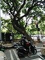 Bangalore street trees 1.jpg
