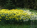 Bank Hall Daffodils 7-4-2009.JPG