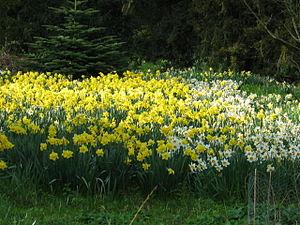 Bank Hall Gardens -  Bank Hall daffodils, April 2009