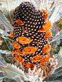 Banksia menziesii follicles Banksia Farm email.JPG