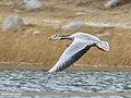 Bar-headed Goose (Anser indicus) (31310674947).jpg