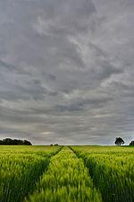 Barley field (31275755833).jpg