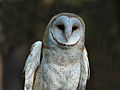 Barn Owl RWD at CRC2.jpg