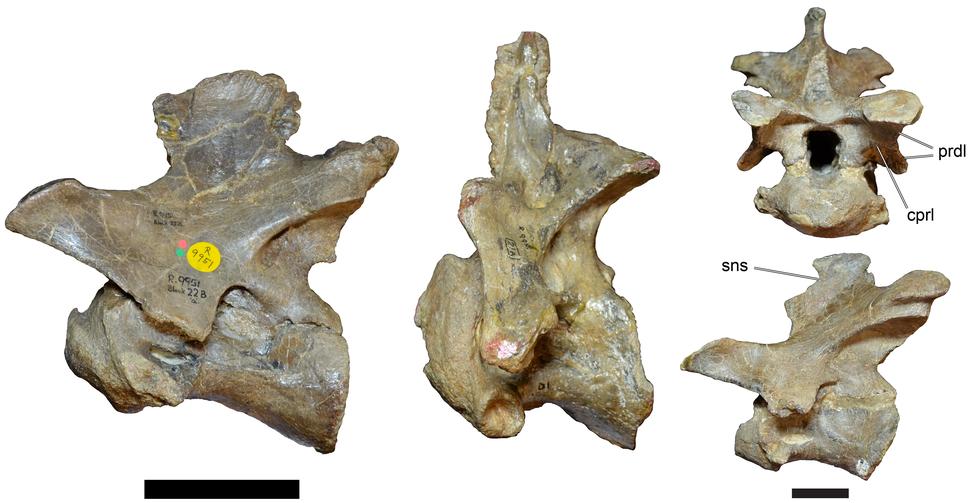 Baryonyx neck vertebrae