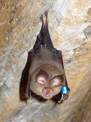 Lesser horseshoe bat - A lesser horseshoe bat in France