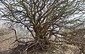 Baum am Hochuferweg Hiddensee Dornbusch, Foto 1.jpg