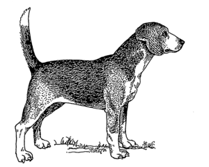 North Country Beagle - Image: Beagle (PSF)