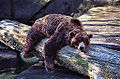 Bear Sleeping (11842384304).jpg