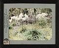 Bear grass (Xerophyllum tenax). 12d.jpg