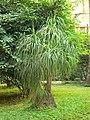 Beaucarnea recurvata (369013178).jpg