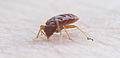 Bedbug002.jpg