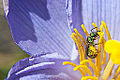 Bee collecting pollen from Vellozia, Serra do Cipó, Brazil.jpeg