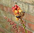 Bee on Mahonia blossom (29762007472).jpg