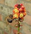 Bee on Mahonia blossom (29792735591).jpg