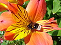 Bee on an orangey lilly (3575968847) (2).jpg