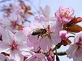 Bee on cherry 01.jpg