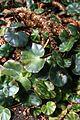 Begonia hydrocotylifolia IMG 1356.jpg