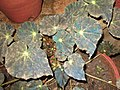 Begonia mazae-yercaud-salem-India.JPG