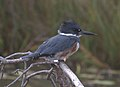 Belted Kingfisher (15868463055).jpg