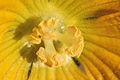 Benincasa pruriens in Guangfeng 2012.10.27 12-44-39.jpg