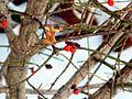 Berries hanging on! (4271616829).jpg