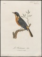 Bessonornis caffra - 1796-1808 - Print - Iconographia Zoologica - Special Collections University of Amsterdam - UBA01 IZ16300355.tif