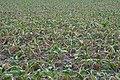 Beta vulgaris subsp. vulgaris var. altissima drought (05).jpg