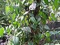 Betel Plant (In Sinhalese - Bulath Gasa).jpg