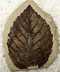 Betula leopoldae leaf fossil
