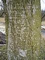 Betulus pubescens R0015191.JPG